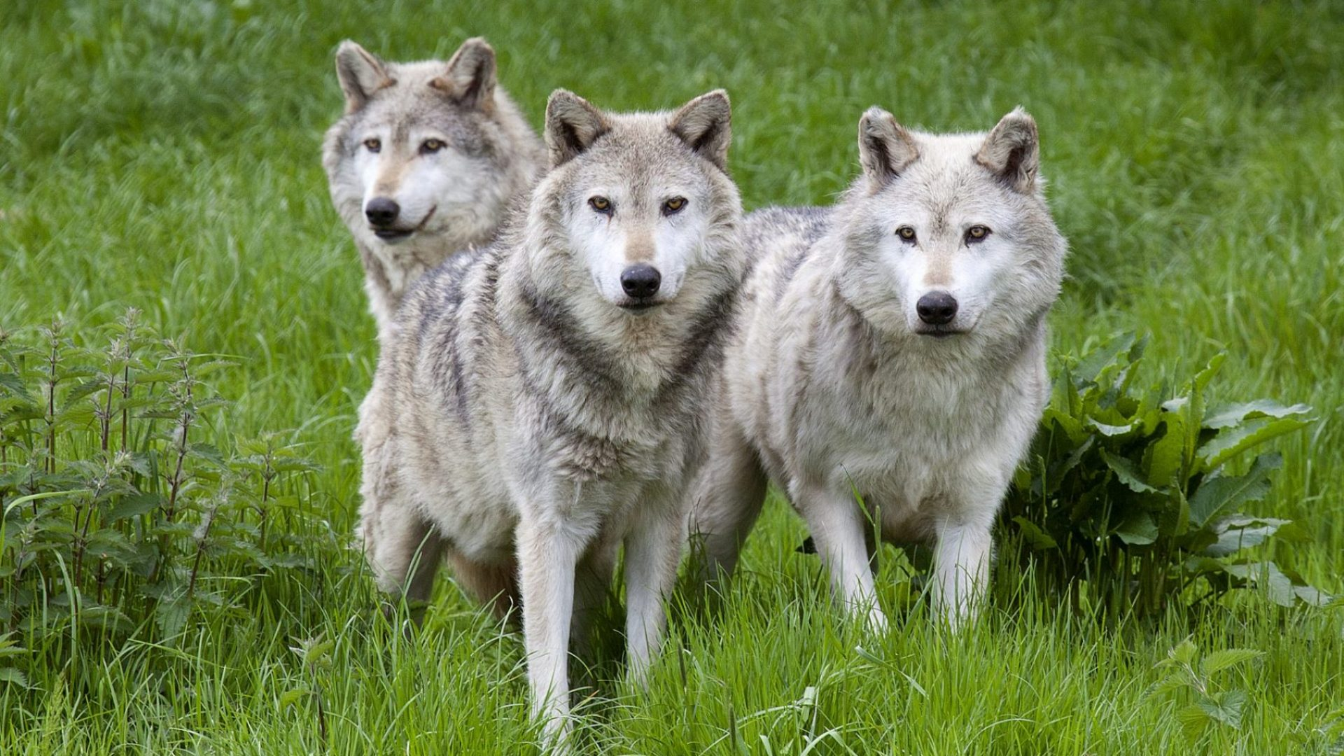Reintroducing wolves to our sheepwrecked island