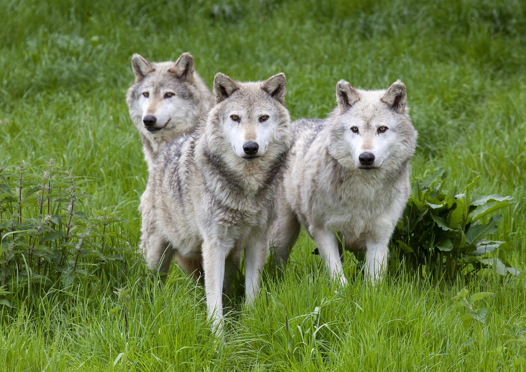 reintroducing wolves