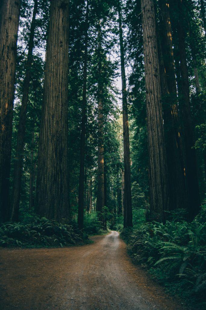 Redwoods survived forest fires