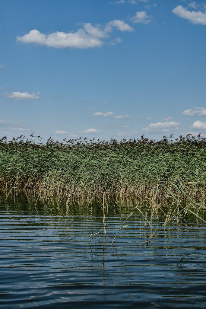 Wetlands reeds